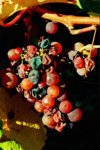 Botrytis on Gewurz 1997 HD